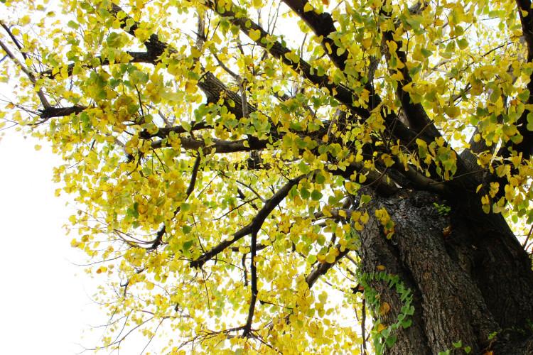 大性神明宮 巨大銀杏樹