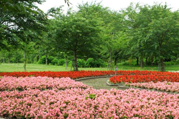 富士見湖公園的秋海棠花田