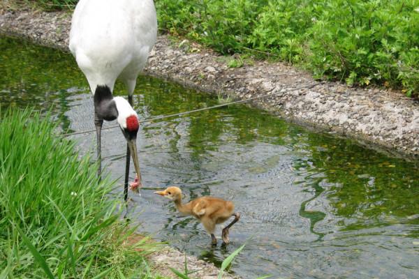 丹頂鶴自然公園內2012年誕生的幼鶴